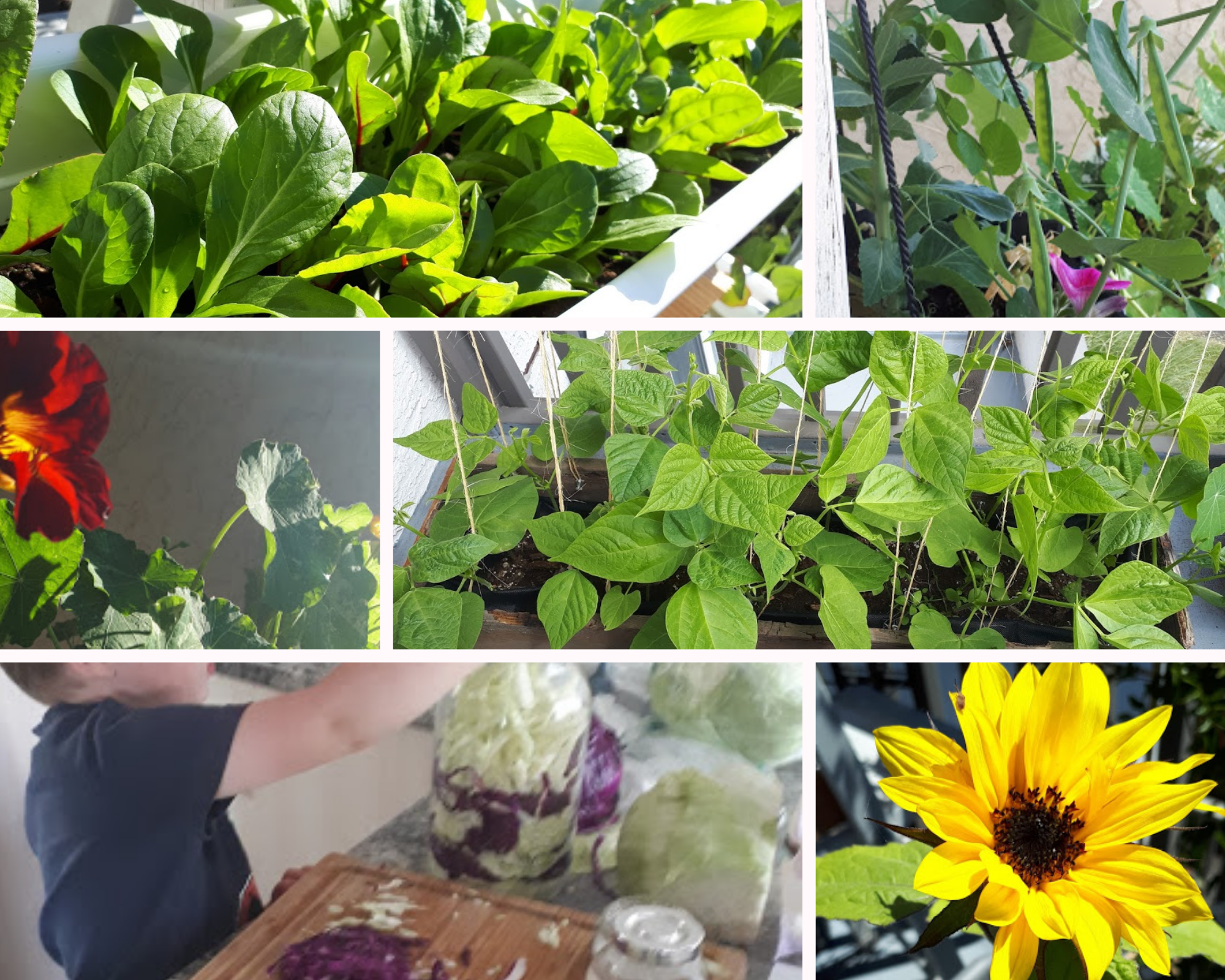 A montage of garden images, with close ups of chard, peas, a sunflower, and a young person learning about fermentation.